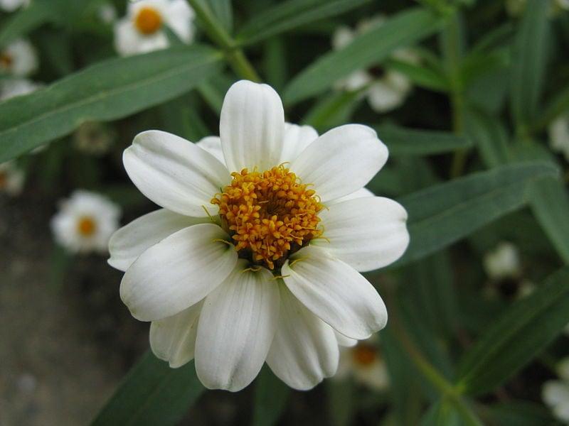 Zinnia-angustifolia