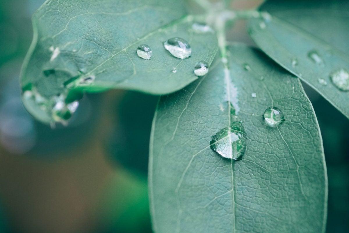 Akebia-quinata-foglie