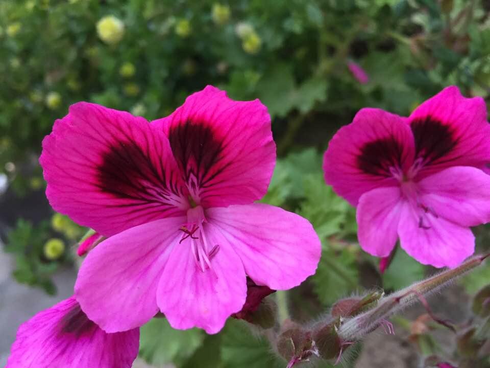gerani-fiore