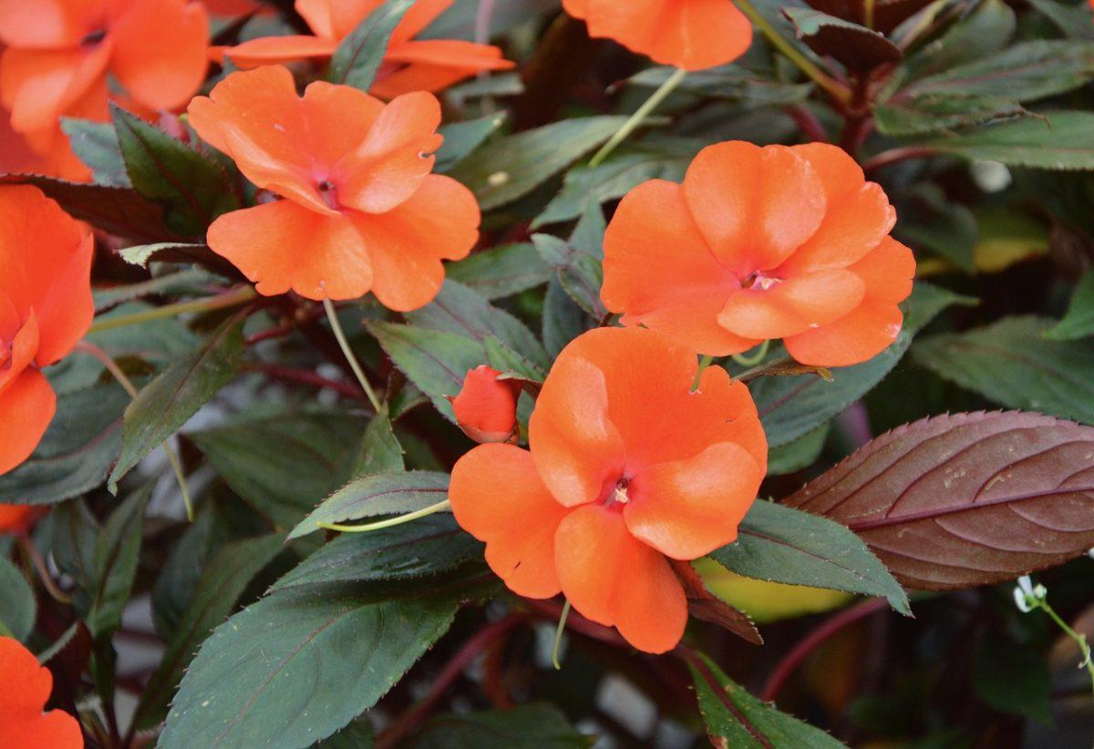 Impatiens-linguaggio-fiori