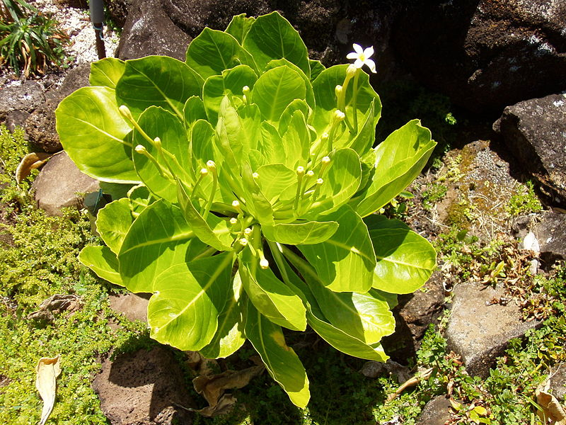 palma-delle-hawaii-brighamia-insignis-foto