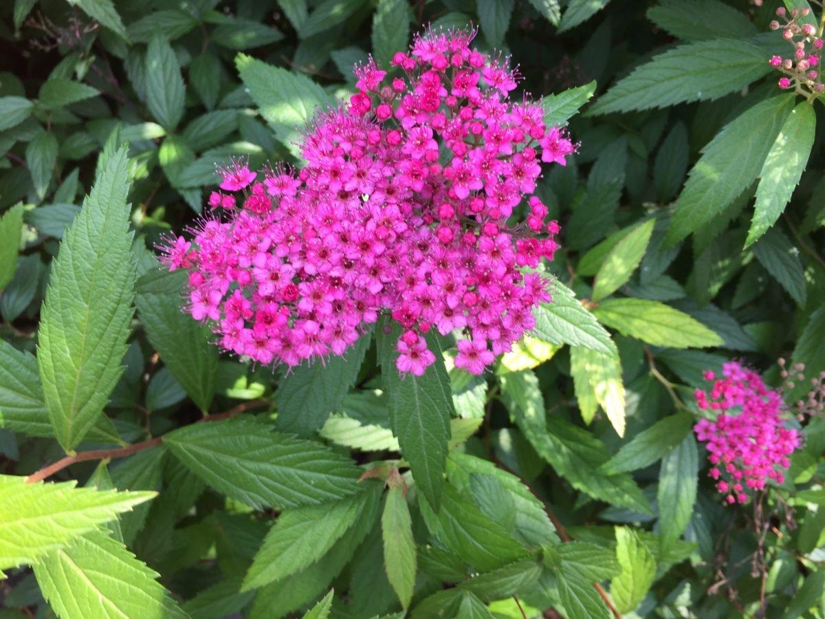 Spiraea japonica-fiori