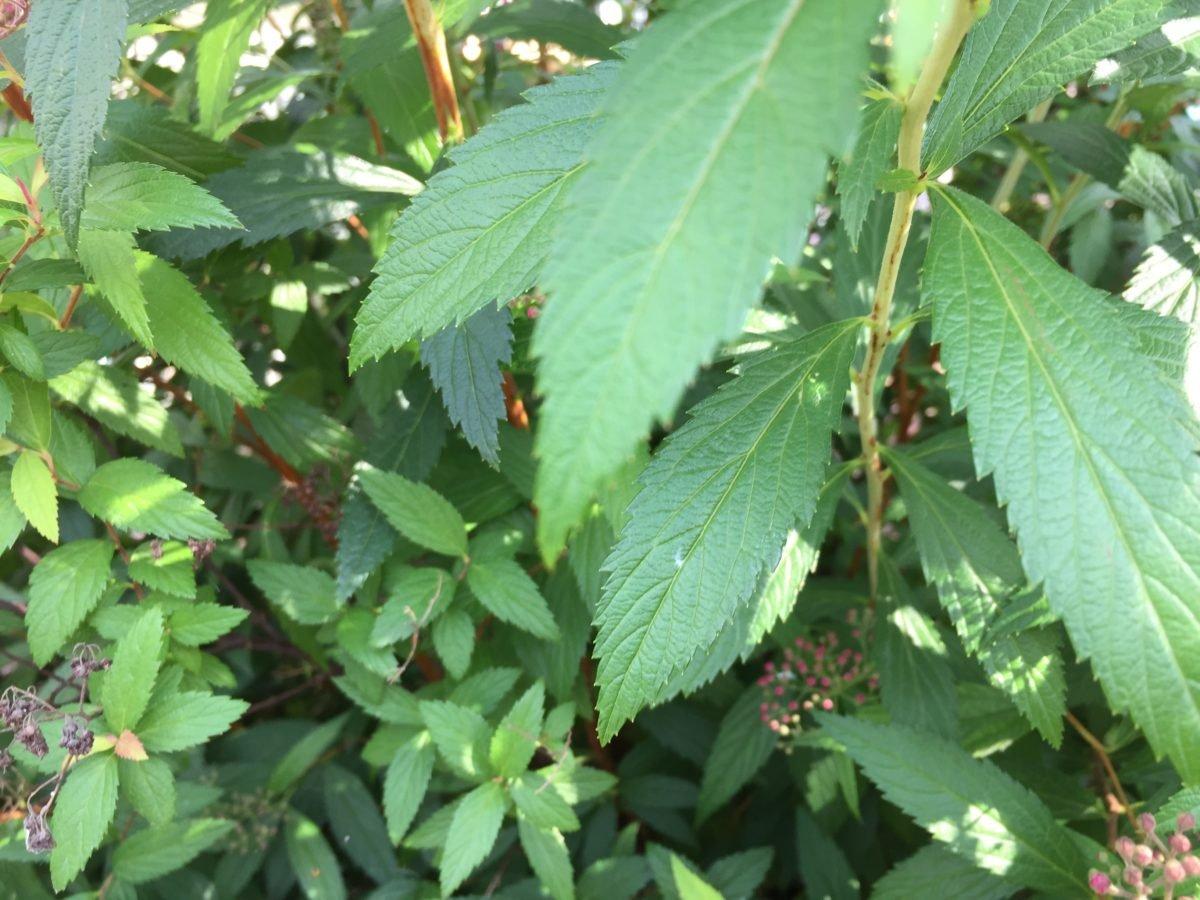Spiraea japonica-foglie
