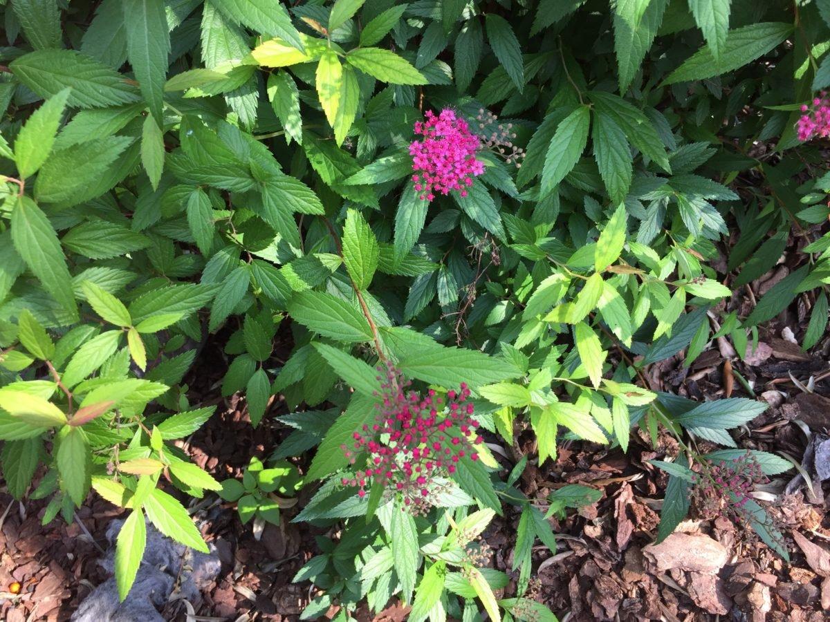 Spiraea japonica-impianto