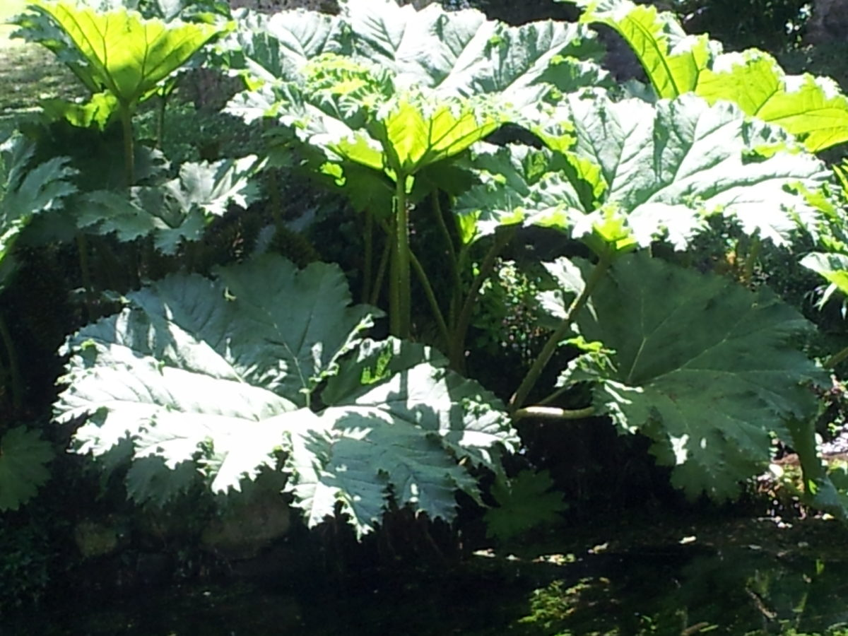 Darmera peltata-foglie