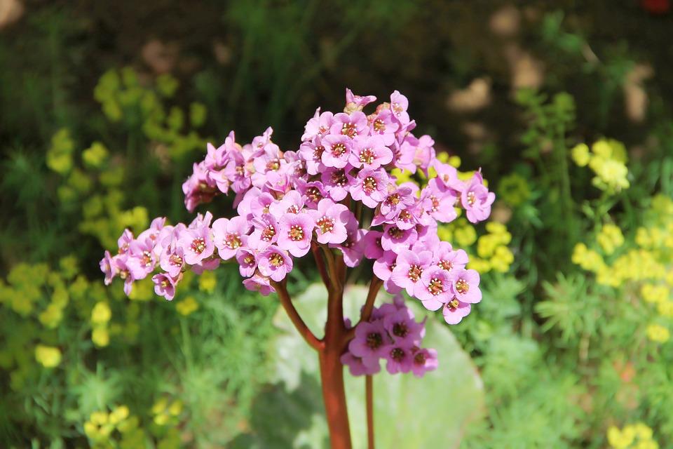 Darmera-fiori