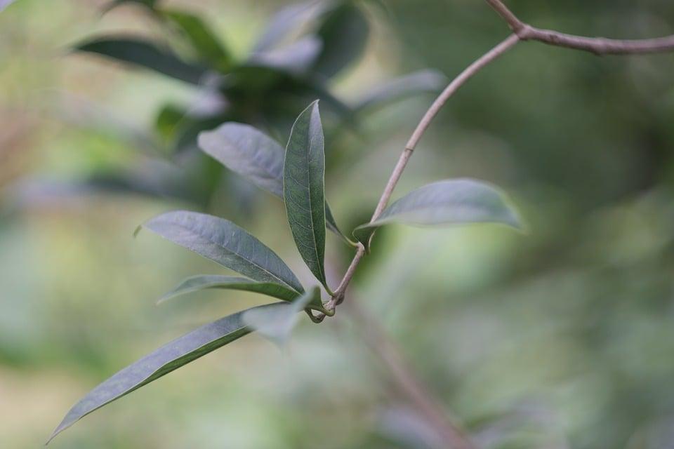 Fillirea-potatura