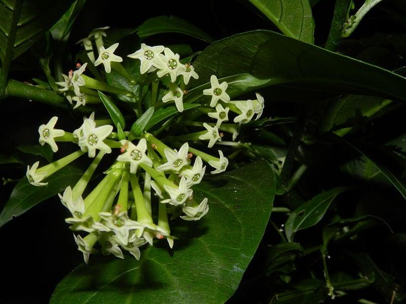 Gelsomino notturno-fiori