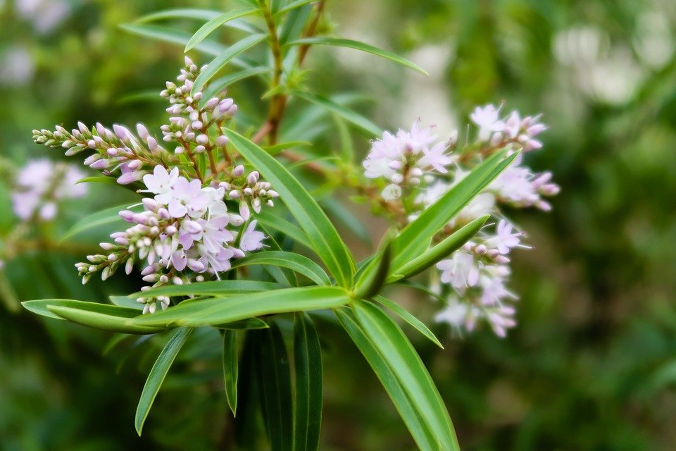 Hebe-salicifolia
