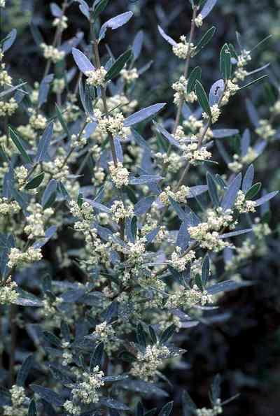 Phyllirea-angustifolia-fiori