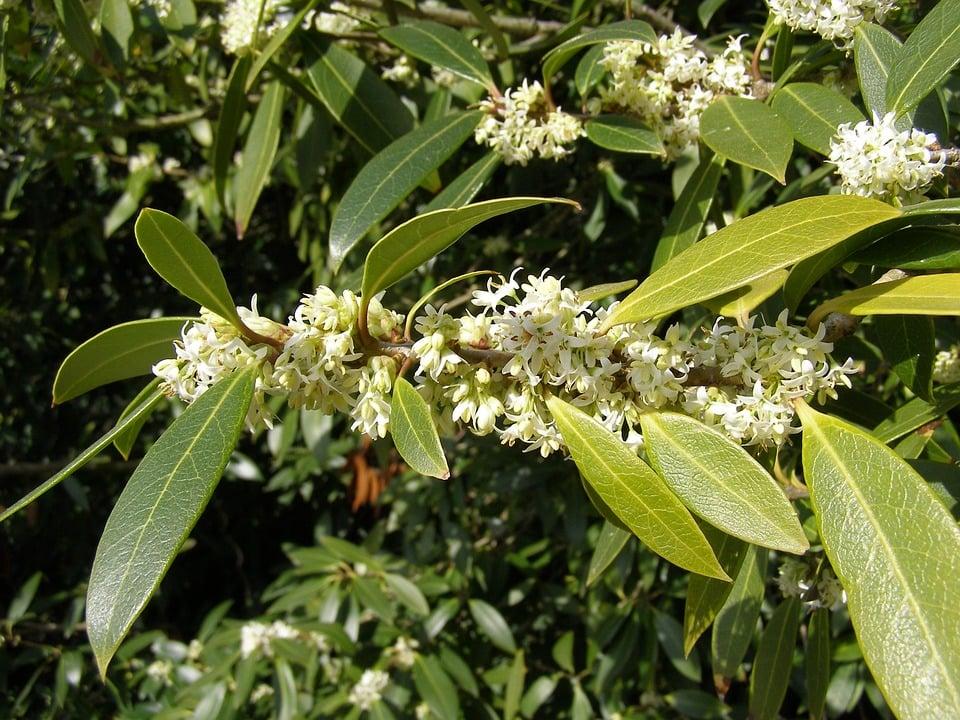 Phyllirea-fiori