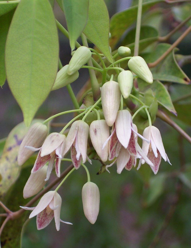Stauntonia – Stauntonia hexaphylla