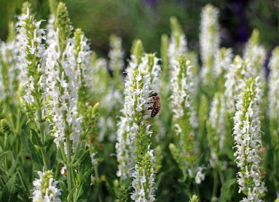 Agastache-fioritura
