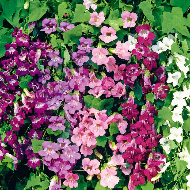Asarina-fioritura