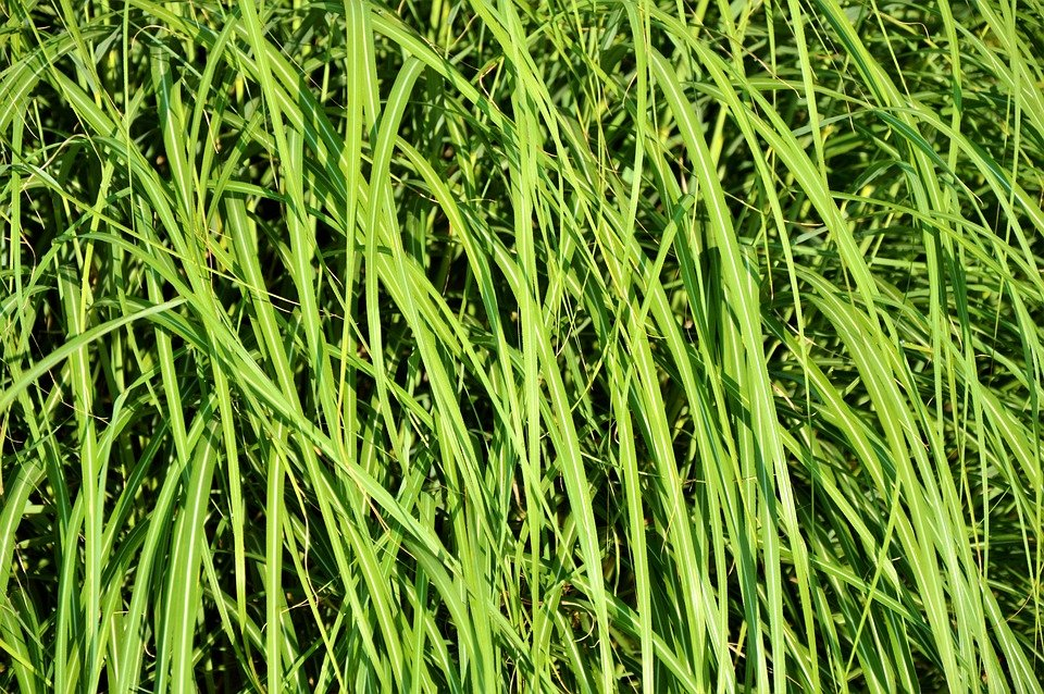 Carex-morrowii