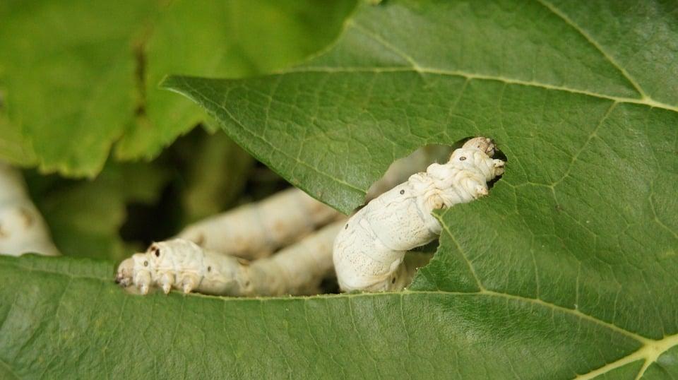 Cudrania-foglie-baco