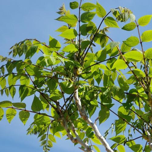 Decaisnea-fargesii-foglie