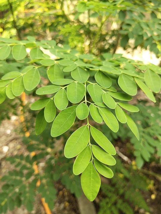 Moringa-oleifera–foglie