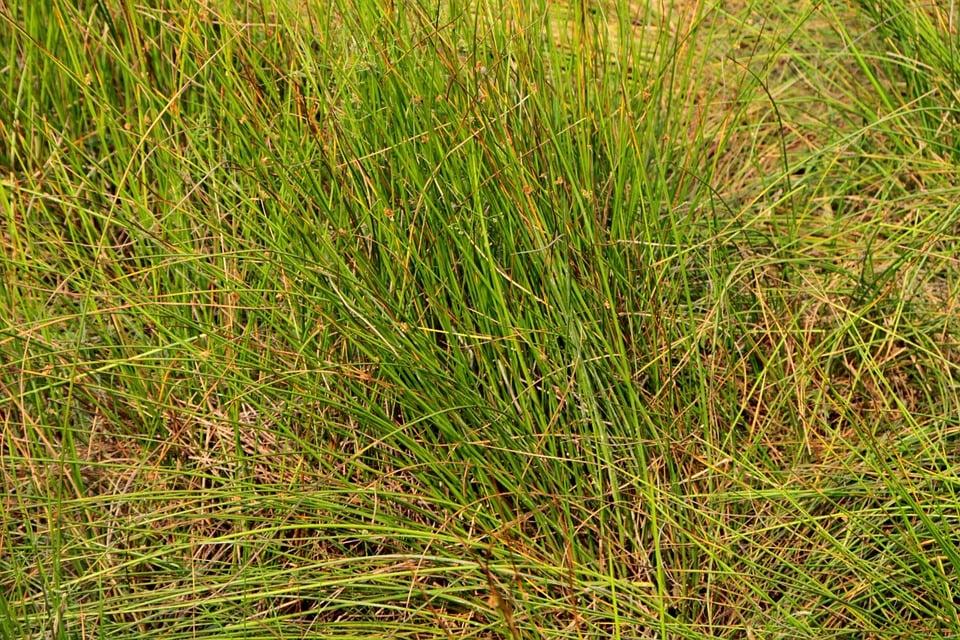 Scirpus-Cyperaceae