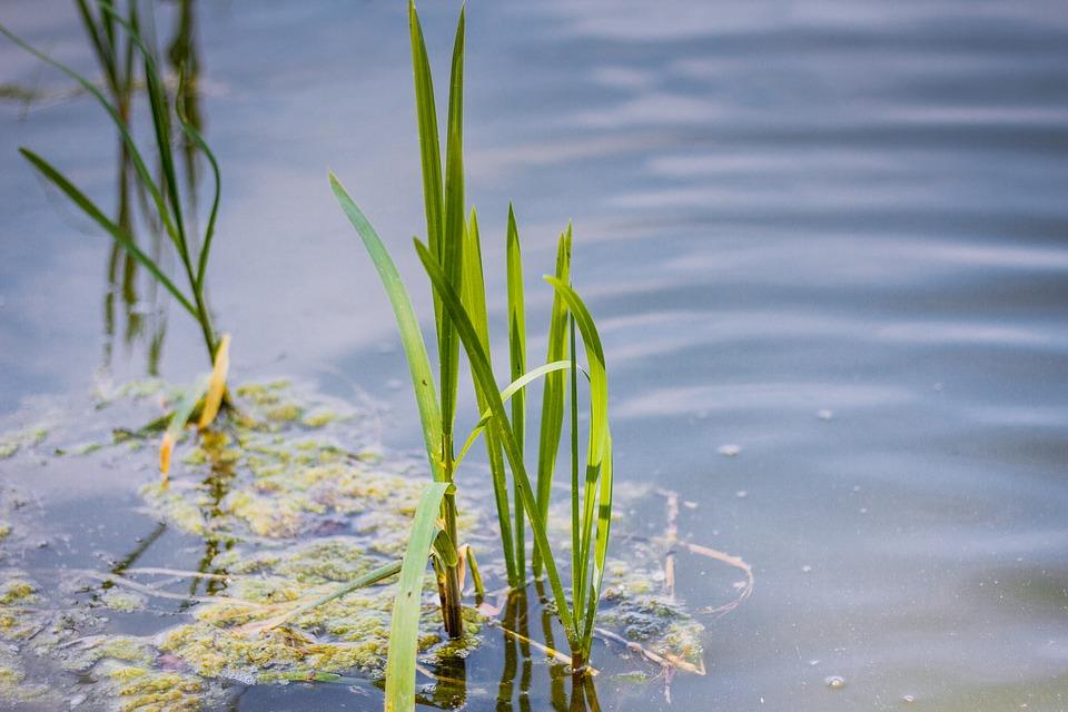Scirpus-pianta acquatica