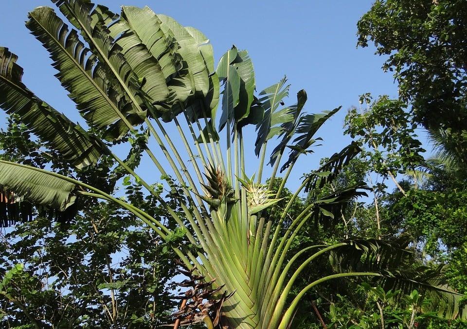 ravenala-madagascariensis–fiori