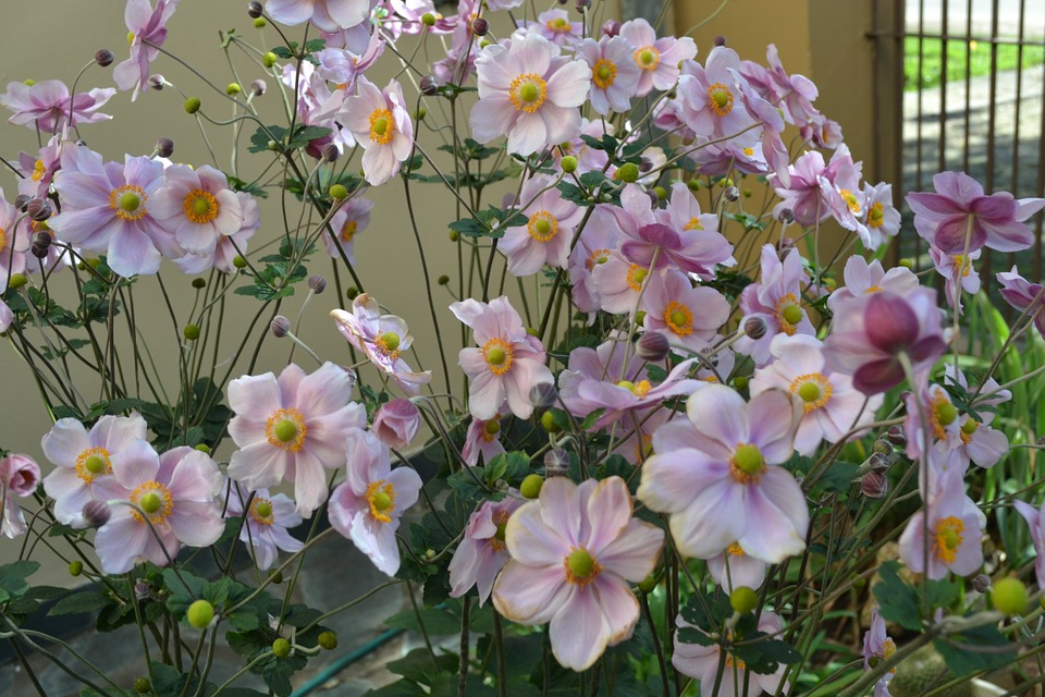 Anemonae-japonica