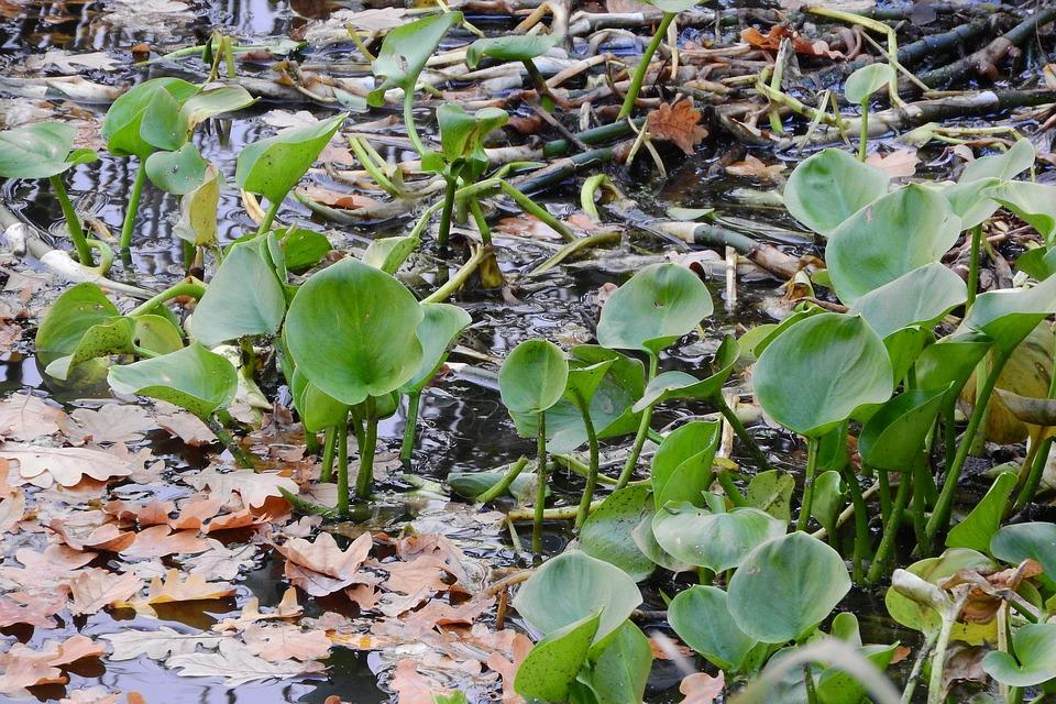 Calla palustris- Calla di palude