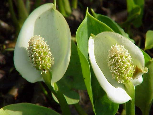 Calla-palustris-fiori