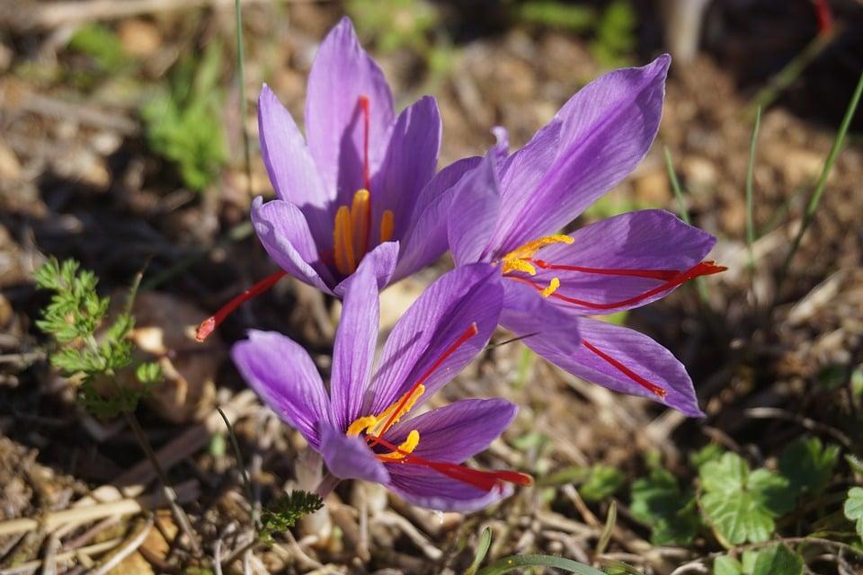 Crocus sativus-fiore zafferano