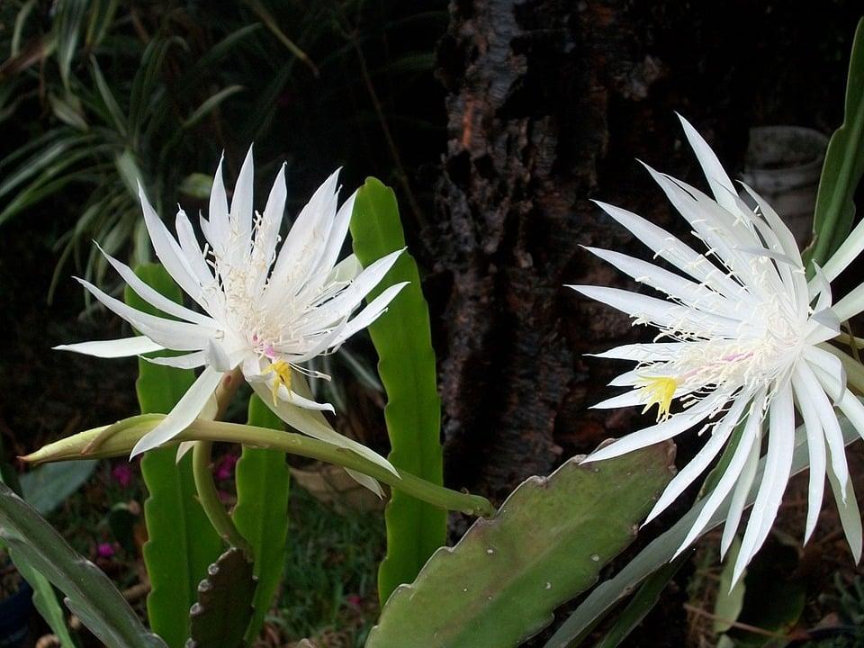 Fiore di Kadupul-Epiphyllum oxypetalum-