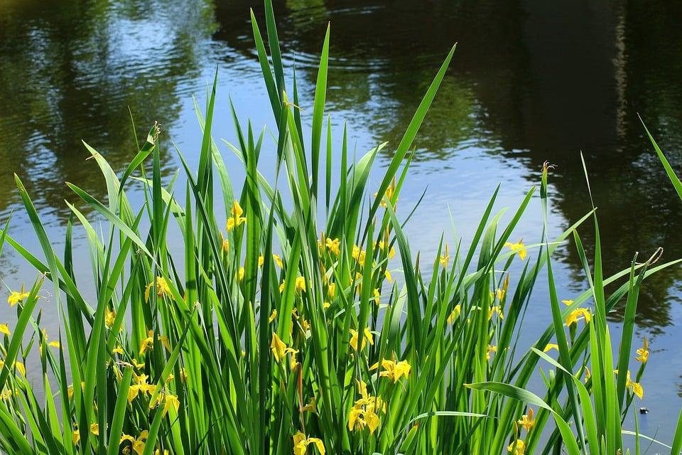Iris-Giaggiolo d'acqua