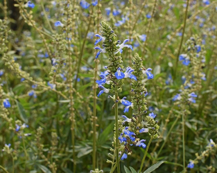 Perovskia-Salvia blu