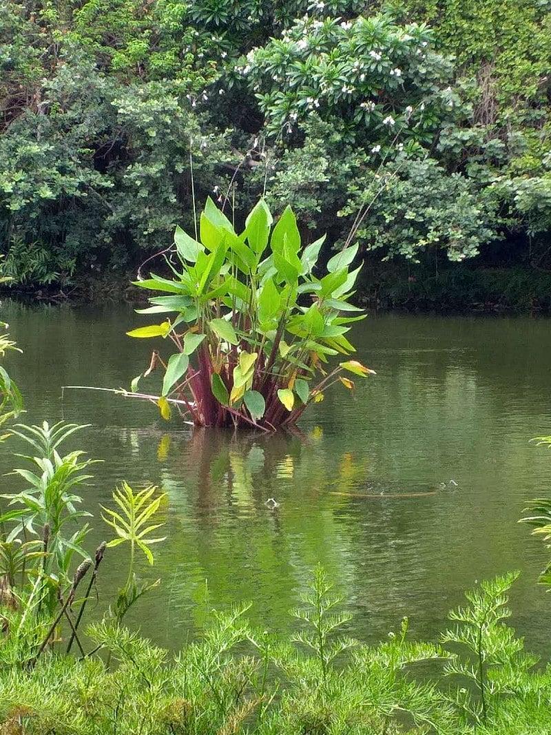Thalia dealbata-pianta acquatica