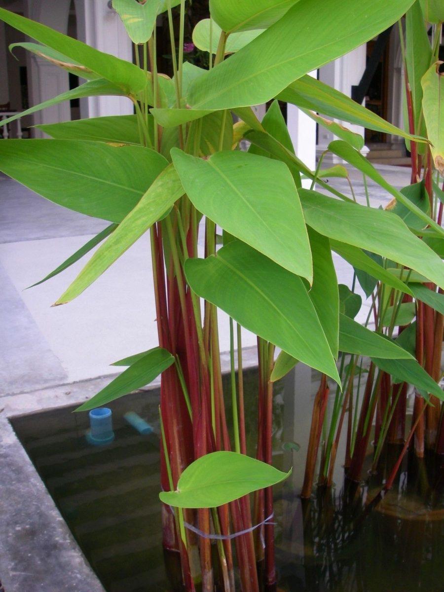 Thalia-pianta acquatica