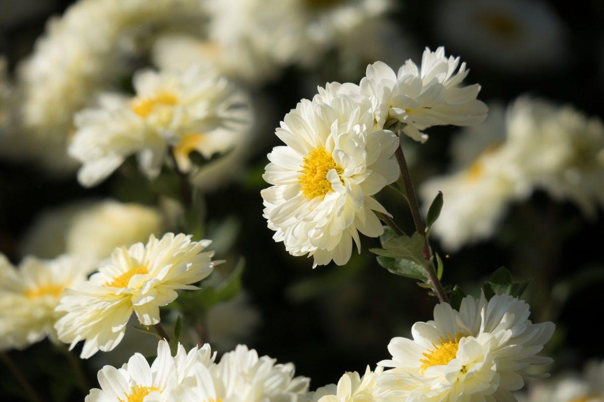 Crisantemi-fiori d'anemone