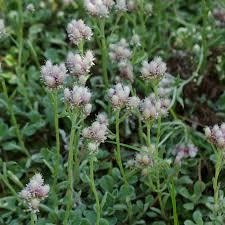 Antennaria-fiori bianchi