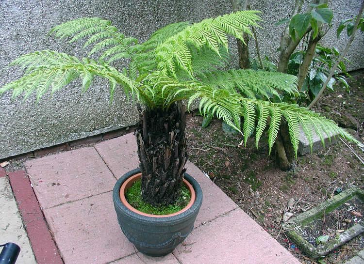 Dicksonia-antarctica-rinvaso