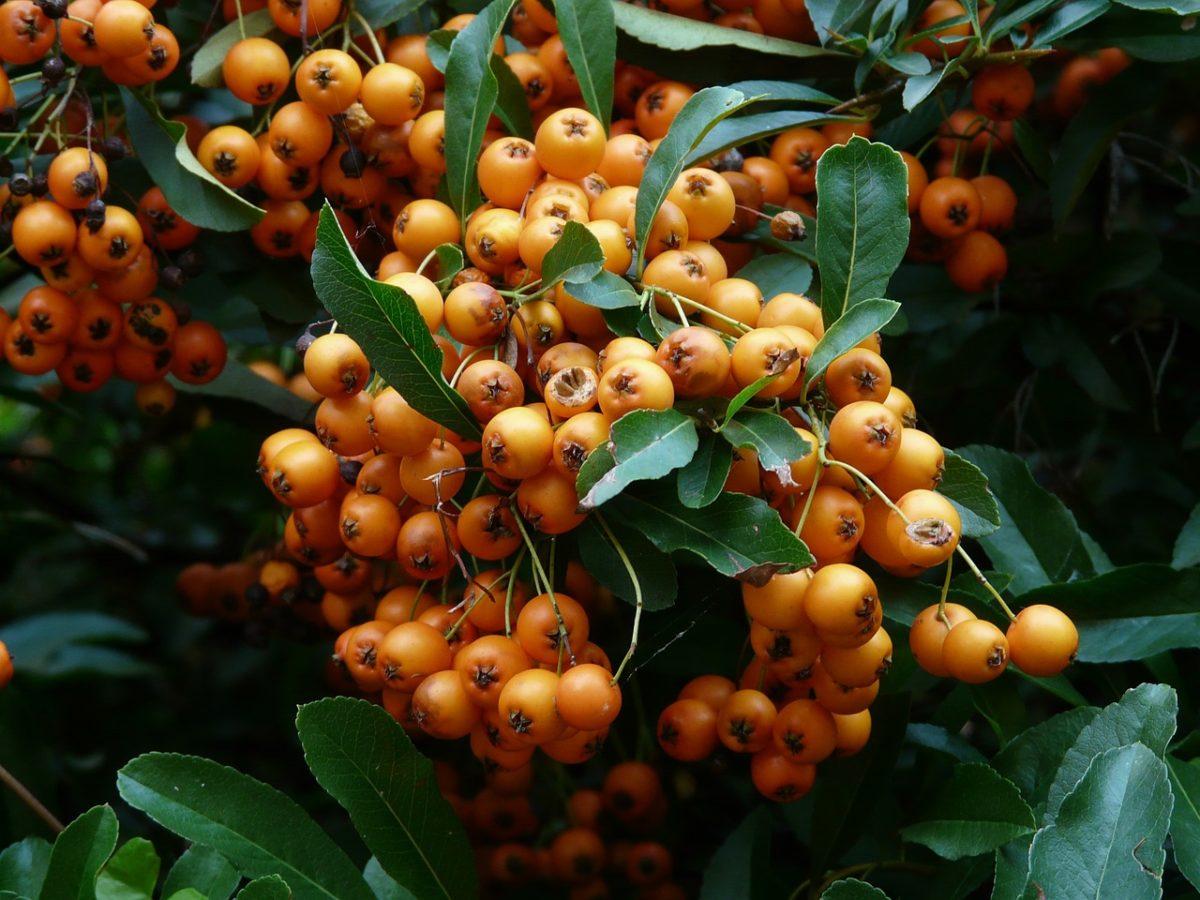 Pyracantha-varietà