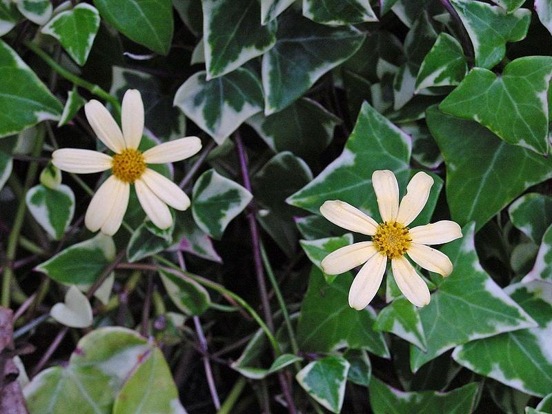 Senecio-macroglossus