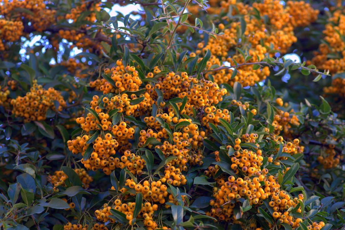 Cotoneaster-Varietà