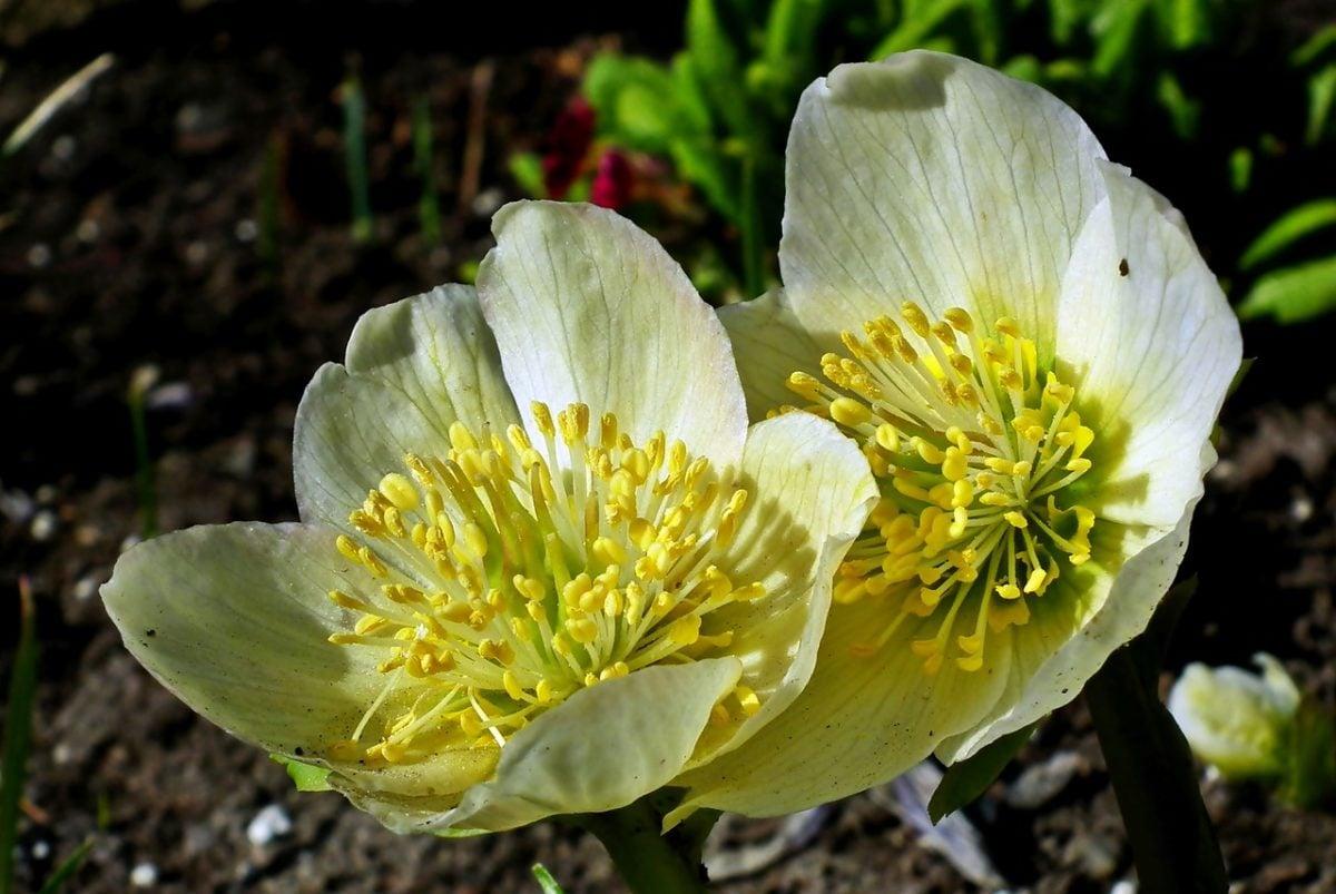 Elleboro-piante Dicembre
