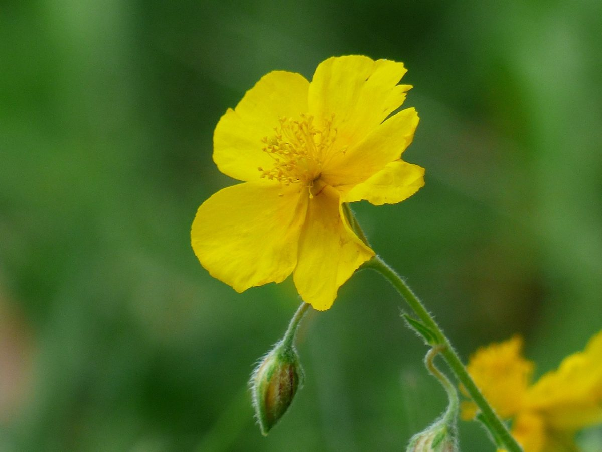 Helianthemum- Eliantemo-fiore