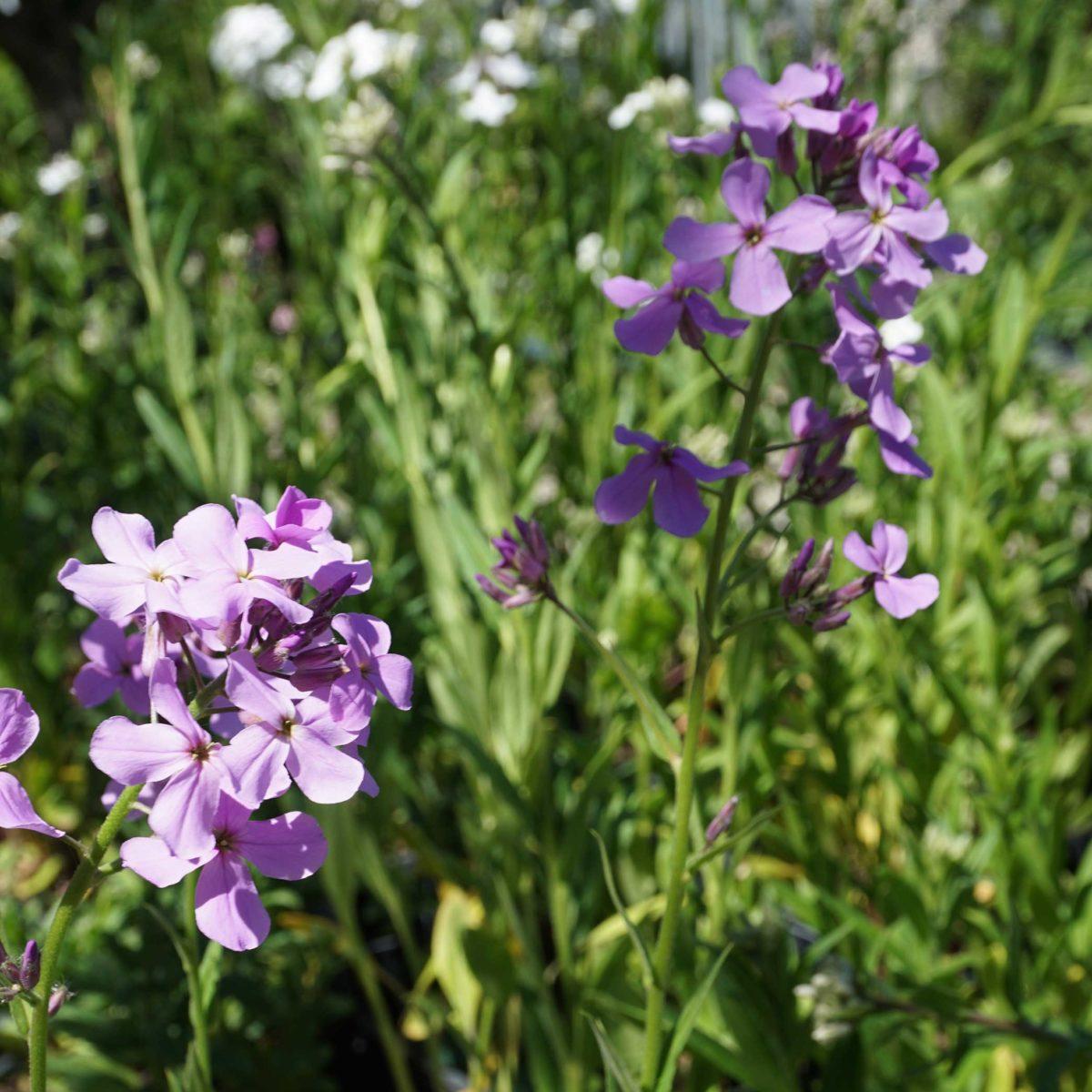 Hesperis matronalis-coltivazione