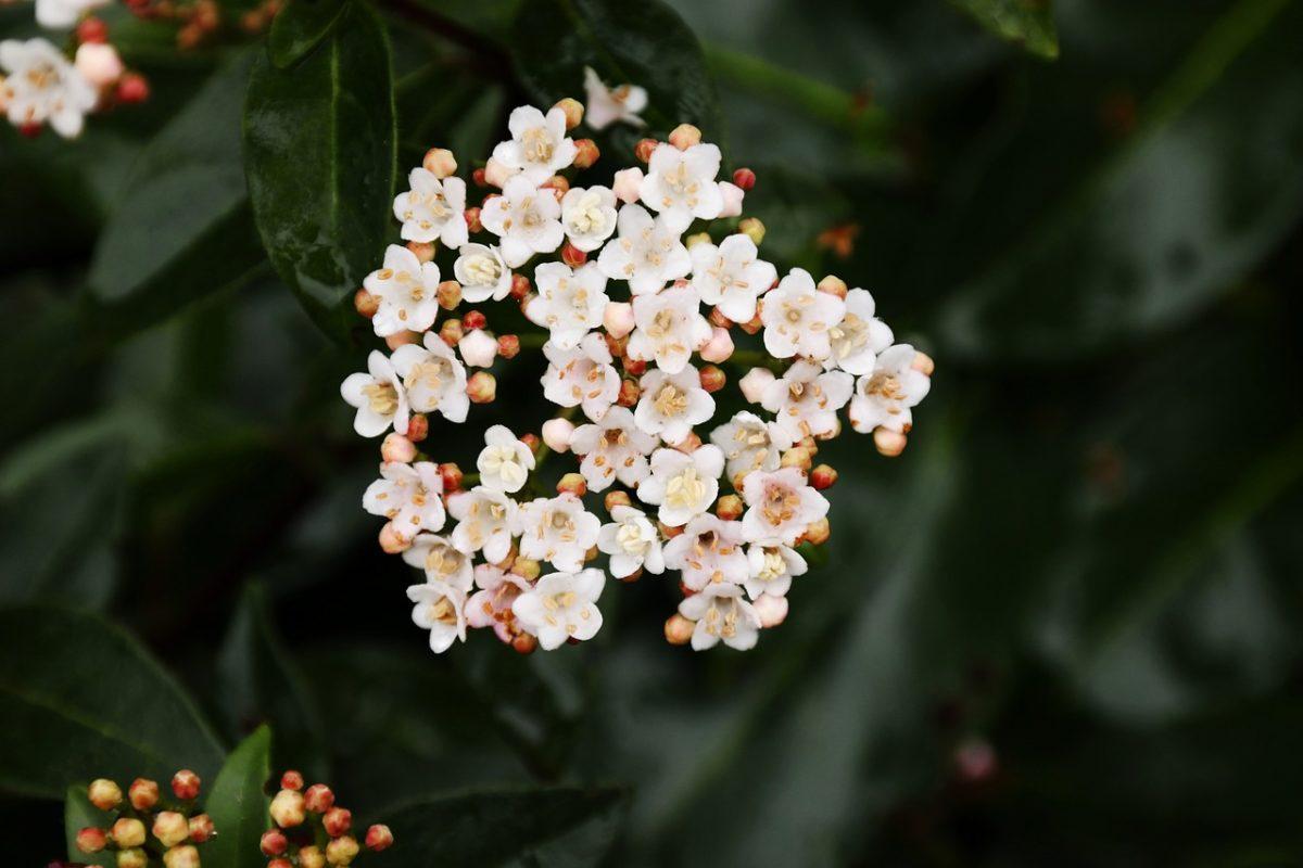 Skimmia-fiore-significato