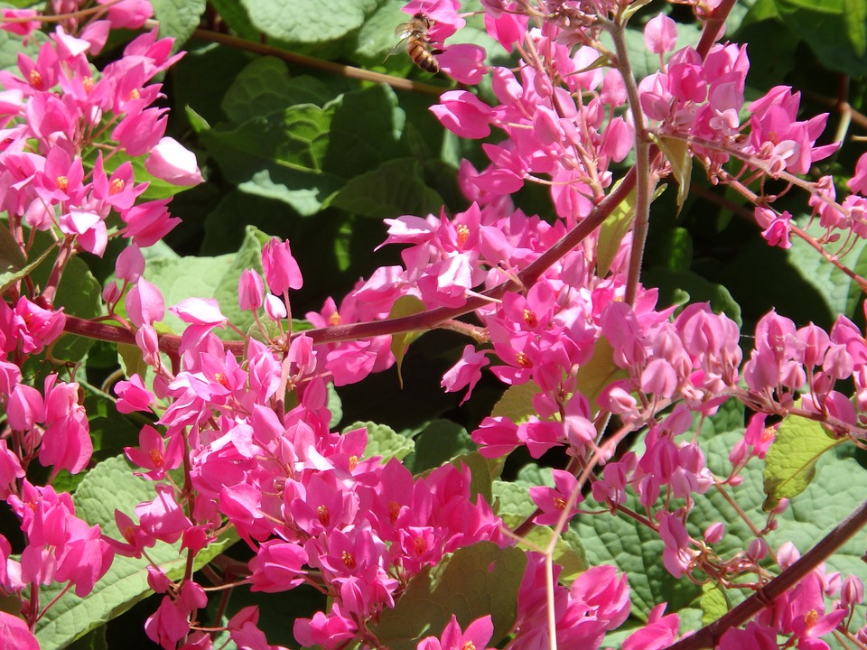 Berberidopsis-usi