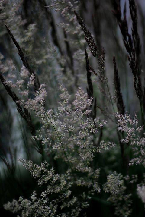 Calamagrostis-coltivazione