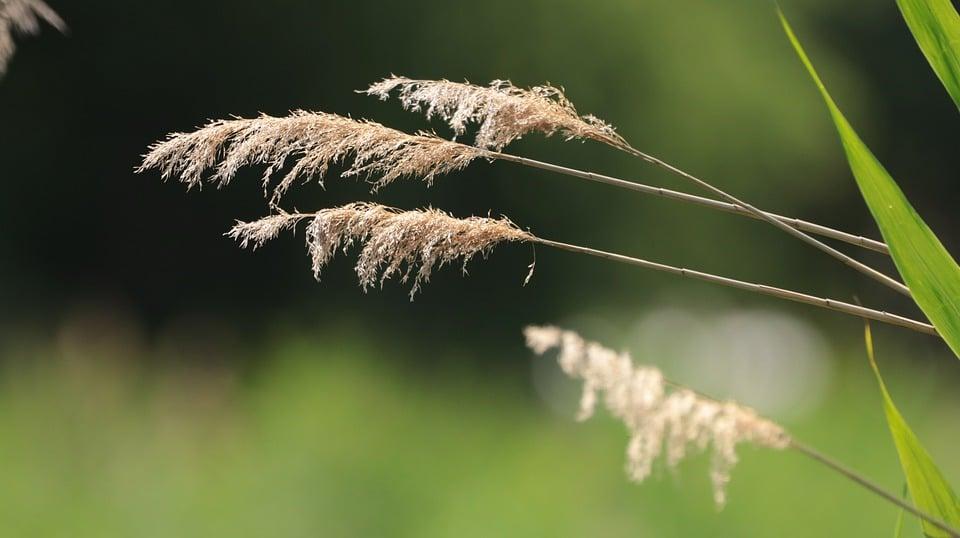 Calamagrostis-infiorescenze