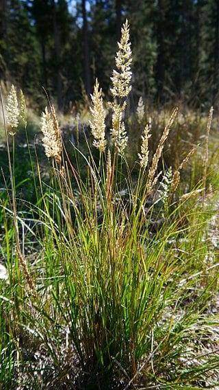 Calamagrostis-rubescens