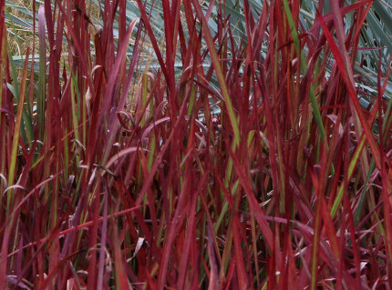 Imperata-cylindrica-Red -Baron