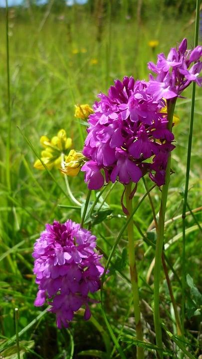 Orchidea piramidale